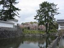 城址公園桜並木11
