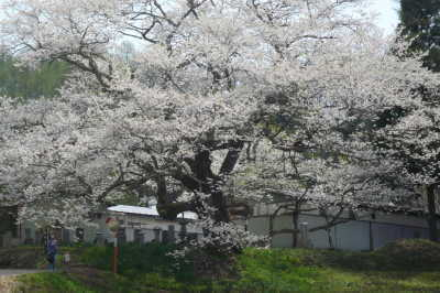 【白馬・春】番屋の桜