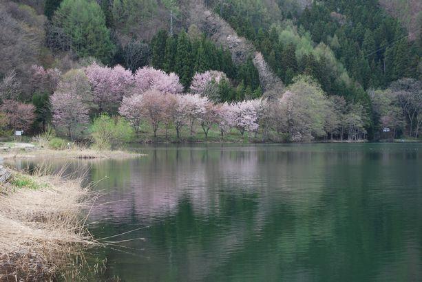 【白馬・春】湖のほとりに咲く山桜