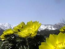 残雪のアルプスをバックに咲く福寿草