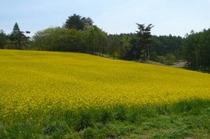 5月中旬ころが見頃の菜の花畑