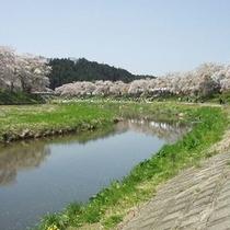 夏井川堤防のソメイヨシノ
