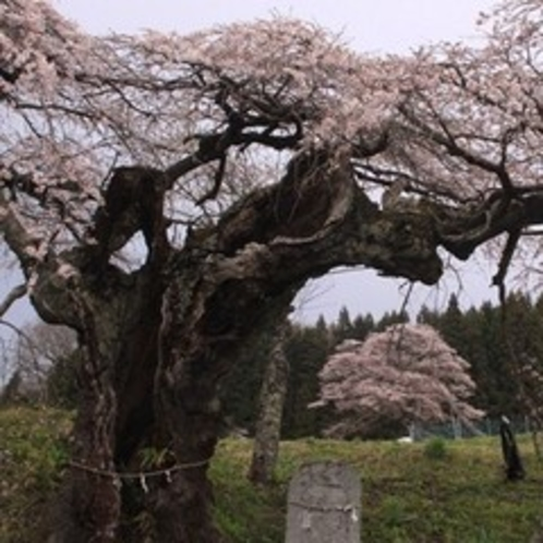 三和の種まき桜