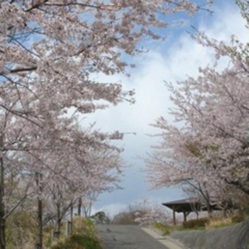 富ヶ浦公園のソメイヨシノ