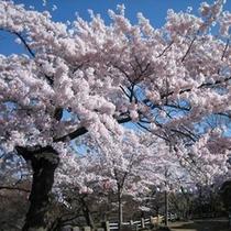 松ヶ岡公園のソメイヨシノ