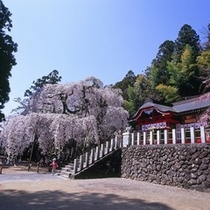 小川諏訪神社のシダレザクラ