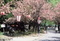 くりから八重桜祭り