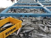 宮古市魚市場競り見学プラン