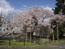 盛岡駅から徒歩で20分 国の天然記念物に指定「石割桜」(盛岡)