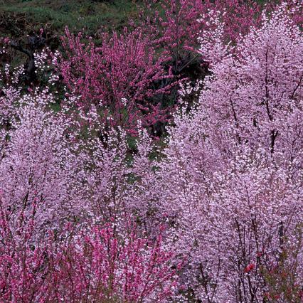 花見山の桜と桃、例年4月中旬が見頃です。(車で30分程)