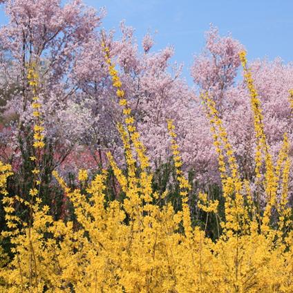 春になると花見山の花々が次々に咲き競います。(車で約30分)