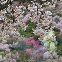 雨の花見山 4月中旬の桜と桃が一緒に咲く頃がおすすめ。