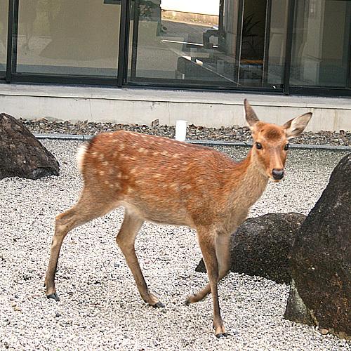 ■鹿の来訪