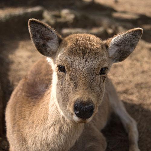 奈良の四季【秋】           鹿の角きり