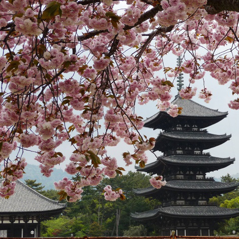 奈良の四季【春】          興福寺の五重塔