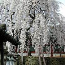 奈良の四季【春】          氷室(ひむろ)神社のしだれ桜