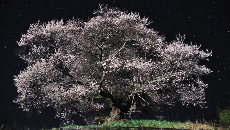 中発知の彼岸桜