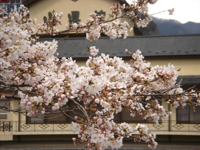 桜の花と山県館