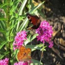 ガーデンの蝶