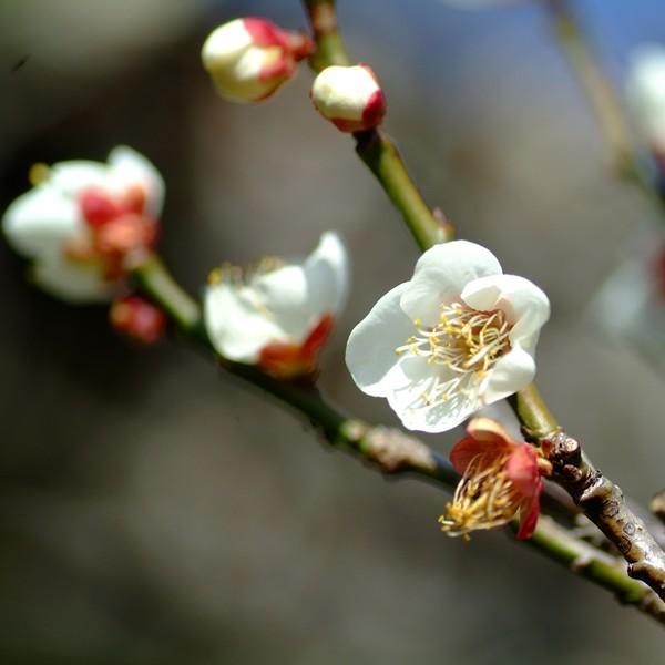 阿しか里庭園の白梅