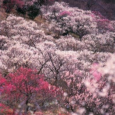 4000本の紅白梅が織りなす、美しい風景【湯河原梅林】