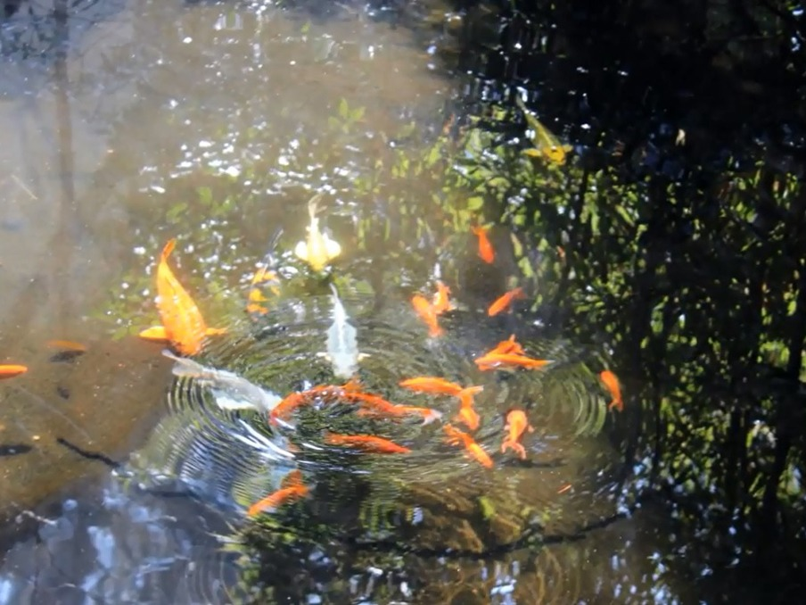 温泉で泳ぐ鯉たち