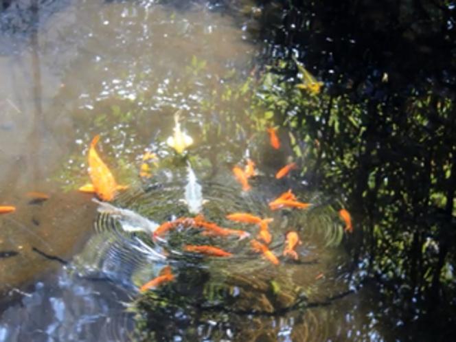 温泉湯の池で気持ちよく泳ぐ鯉で〜す。