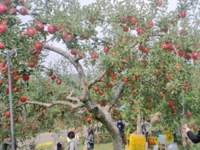 松井農園りんご狩り