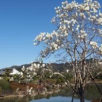 【周辺観光】南楽園のハクモクレン(見ごろ:3月)