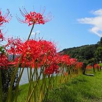 【周辺観光】南楽園のヒガンバナ(見ごろ:9月)