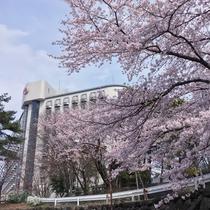 ホテル敷地内では桜をご鑑賞頂けます