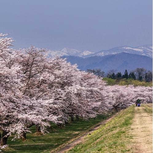 雫石川園地桜
