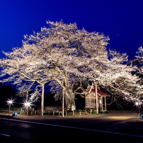 弘法桜 夜
