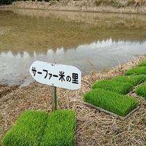 【サーファー米】田植えの季節です!たくさん実りますように♪
