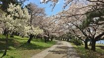 *豊公園と桜