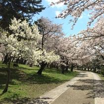 豊公園と桜