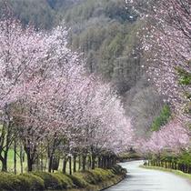 *桜並木/駐車場までの道のり。春はこんなに美しい桜を楽しめます!