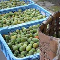 コンテナいっぱいの梅の実