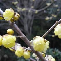 庭内の蝋梅