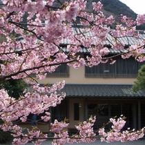 玄関 河津桜