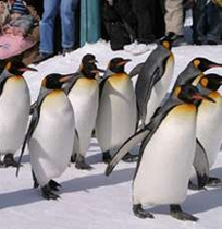 旭山動物園、冬はペンギンのお散歩が見られます。