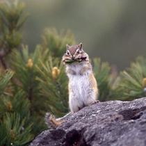 大雪山にはリスを始め様々な動物が生息