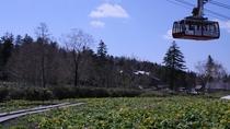 旭岳ロープウェイ山麓駅の前に毎年5月下旬~6月中旬に咲くエゾノリュウキンカと水芭蕉の大群落