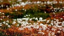チングルマの綿毛が秋の風に揺れる眺めもとても美しいです。
