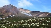 旭岳 チングルマは7月8月が見頃です。