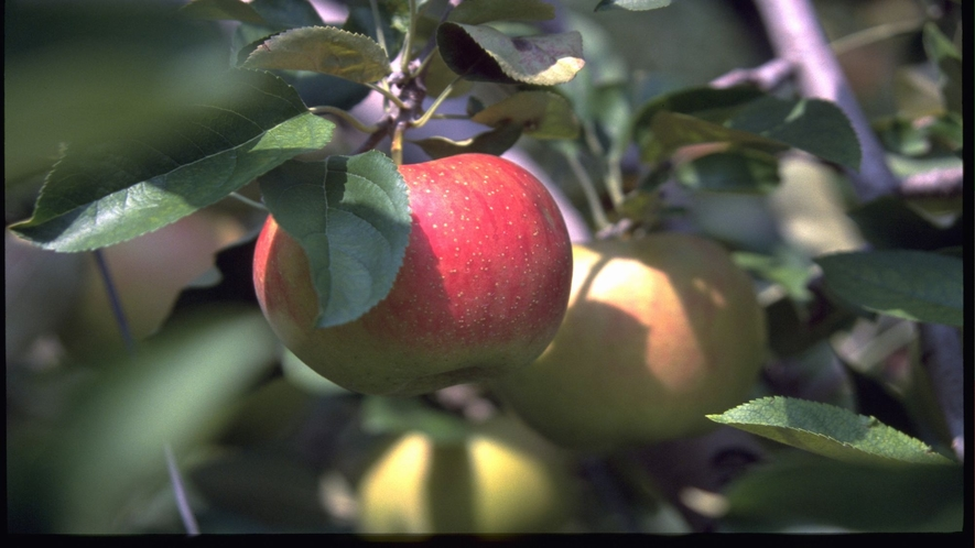 ■リンゴ(写真提供:長野県観光機構)
