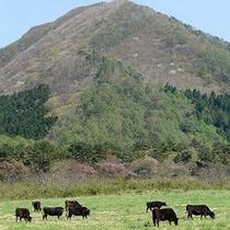 春の三瓶山「放牧」
