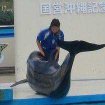 【沖縄海洋博公園】イルカショー 備瀬ゲート徒歩3分