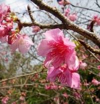 【日本一早い桜まつり】 八重岳桜まつり会場 フクギテラスから車で15分