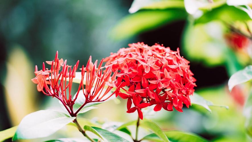 ・一年を通して楽しめる赤いサンダンカの花